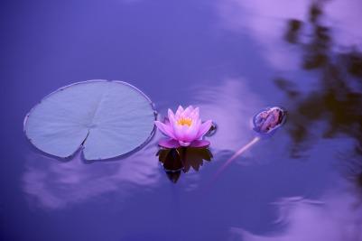 lotus-1205631_1920